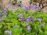 대구수목원에 바위를 닮았다는 이름  무향기의 보라색 바위바이올렛(스트렙토카르푸스),꽃,유래.