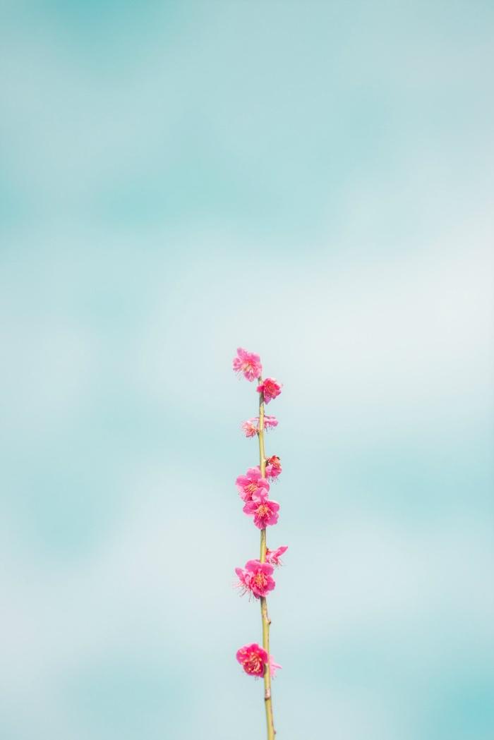 제주도 매화꽃 소식/ 휴애리, 노리매, 칠십리공원, 걸매생태공원 매화꽃