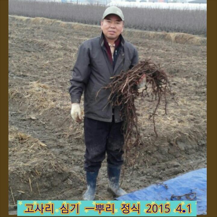 고사리재배 고사리뿌리판매 단고사리종묘분양