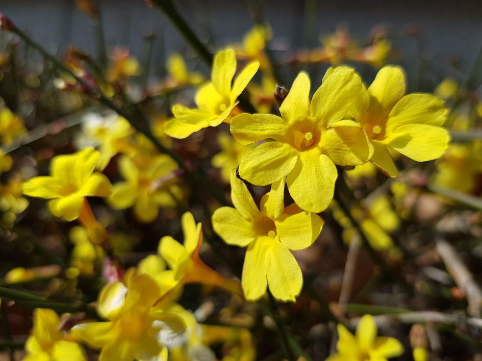 大邱市中区春の花ニュース - 大邱市中区国債補償運動記念公園の春の伝令士過去に合格すると花は非常にスロー迎春化、花。