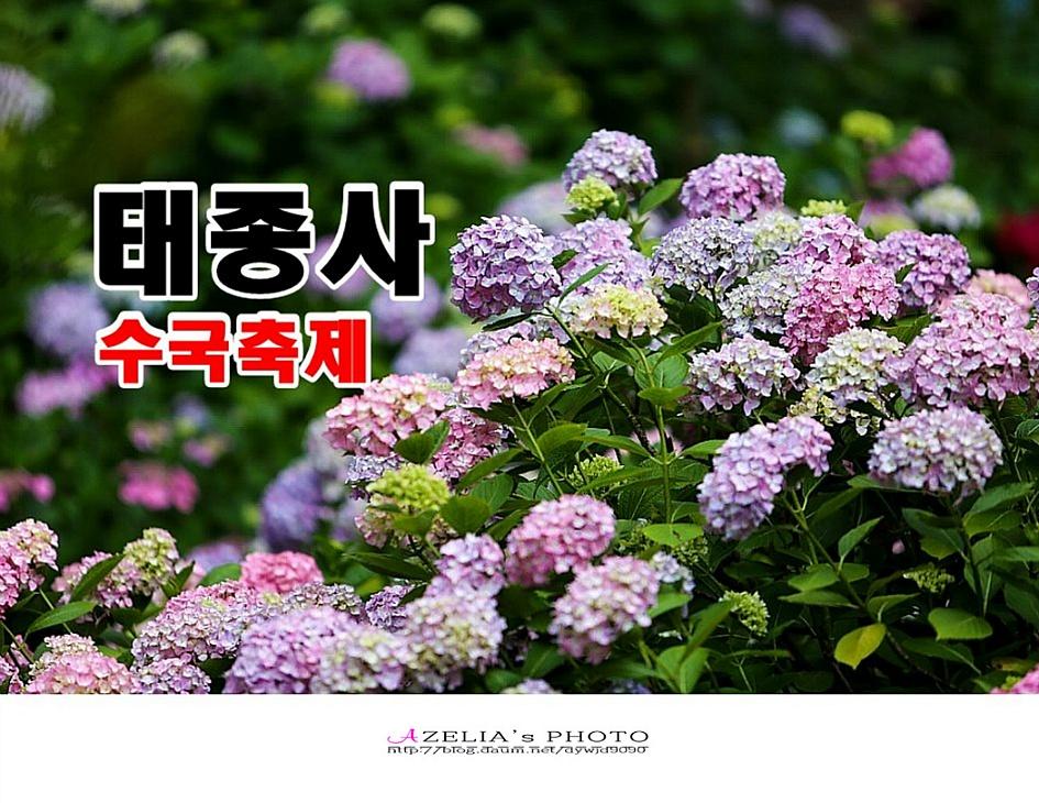 부산여행1/태종대&2018 태종사 수국이 없는 축제【18년7월4일】