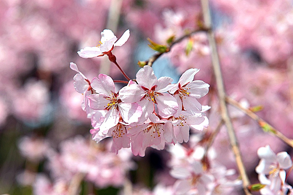 Seoul Cherry Blossom Festival National Seoul Hyeonchungwon Weeping Cherry Blossom Festival Seoul Cherry Blossom Festival Outing